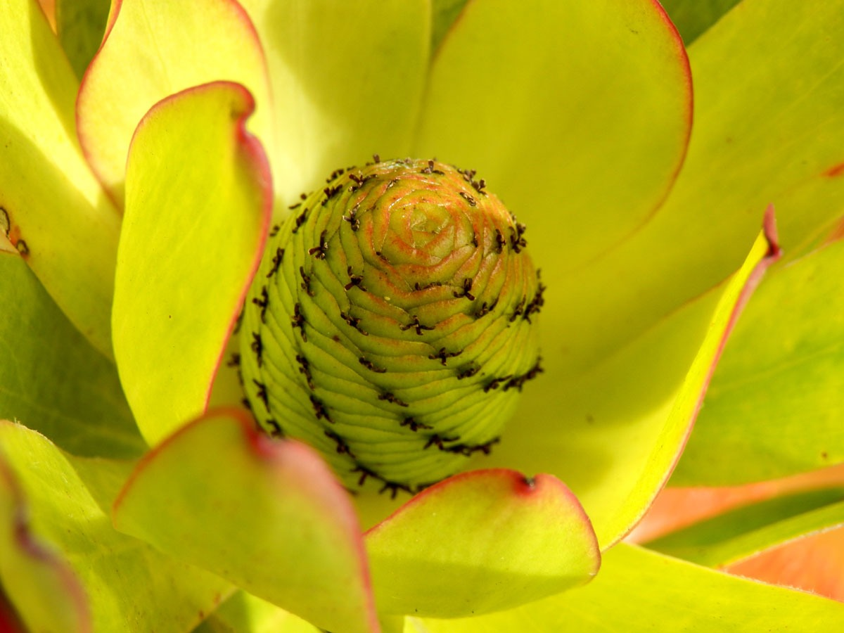 Flower bud unfolding